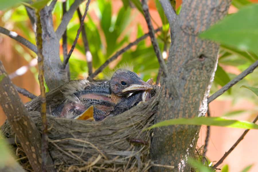 Baby Robins in a nest, Fresno California.