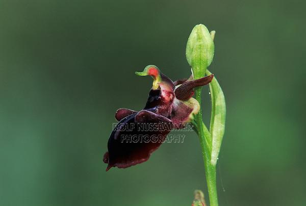 Bosom Orchid, Ophrys mammosa, blossom, Samos, Greek Island, Greece, Europe