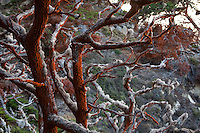 Branches, Point Lobos