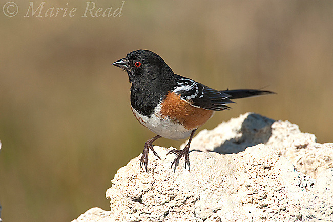 Spotted Towhee (Pipilo maculatus) perches on tufa tower after bathing in freshwater spring on the shore of Mono Lake, California, USA