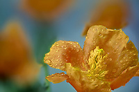 Close up of Horned Poppy (Glaucium flavum aurantiacum) with rain drops. Oregon