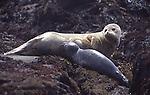 Harbor seal pup nursing
