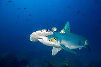 Hammerhead Shark, Cocos Island