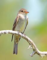 Juvenile easter wood-peewee