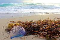 A Portuguese Man Of War jellyfish on South Beach, Miami Beach, FL, November 22, 2010.  (Photo by Brian Cleary/www.bcpix.com)