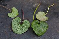 Vergleich Knoblauchsrauke (links) und Gundermann (rechts). Gewöhnliche Knoblauchsrauke, Knoblauchrauke, Knoblauch-Rauke, Knoblauchs-Rauke, Lauchkraut, Knoblauchskraut, Knoblauchhederich, Knoblauchshederich, junge, zarte Blätter vor der Blüte, Alliaria petiolata, Hedge Garlic, Jack-by-the-Hedge, Garlic Mustard, garlic root, Alliaire, L'Alliaire officinale, Herbe à ail. Gewöhnlicher Gundermann, Efeublättriger Gundermann, Echt-Gundelrebe, Gundelrebe, Glechoma hederacea, Alehoof, Ground Ivy, ground-ivy, gill-over-the-ground, creeping charlie, tunhoof, catsfoot, field balm, run-away-robin, le Lierre terrestre, Le gléchome lierre terrestre, le lierre terrestre commun. Blatt, Blätter, leaf, leaves, Blatt, Unterseite, Oberseite, Blattoberseite, Blattunterseite, Blätter, leaf, leaves