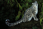 Snow Leopard (Panthera uncia) - captive, nocturnal, showing long strong thick tail, spotted pattern dense fur....