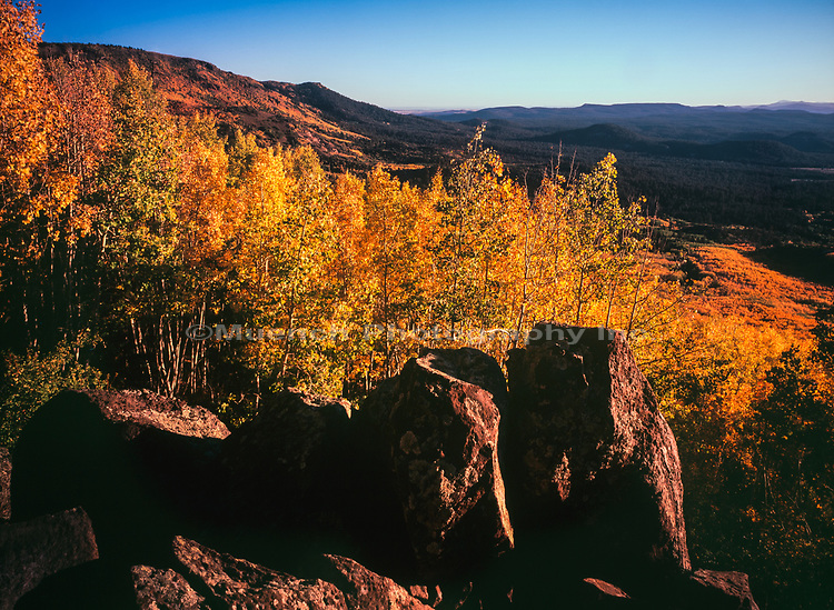 Autumn Aspen,Escudilla Mountain,Arizona