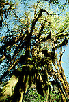 WA: Washington State; Olympic National Park, Hoh Rain Forest, epiphytes  .Photo Copyright: Lee Foster, lee@fostertravel.com, www.fostertravel.com, (510) 549-2202.Image: waolym207