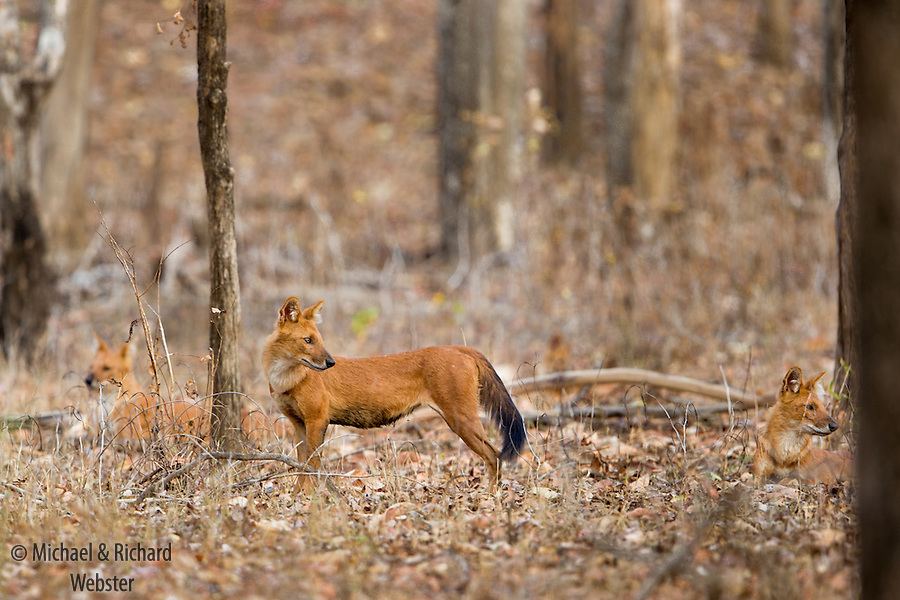 The dhole or Asiatic Wild Dog is an endangered animal, due to habitat loss, hunting, lack of prey and disease.