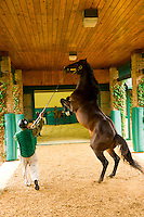 Sharp Humor (stallion), Winstar Farm (thoroughbred horse farm), Versailles (near Lexington), Kentucky USA