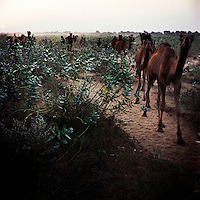 Camels walk through the Rajasthani desert, herded towards the Pushkar Camel Fair by Raika camel breeders. The Raika are an ancestral caste of camel breeders in Rajasthan. Due to the increased cost of feeding and shelter, more and more Raika are being forced to sell off their camels, often for camel meat, which was once considered taboo.