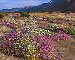 Verbena, Primrose, Henderson Canyon, Anza-Borrego Desert State Park, CA