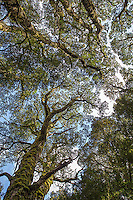 Looking up at the Ballroom Forest near Dove Lake.