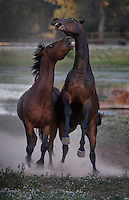 Two frisky yearings bite and nip as they play and fight on a cool summer morning at the WIld Horse Sanctuary.<br />