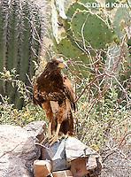 0405-1215  Harris's Hawk, Harris Hawk (Bay-winged Hawk or Dusky Hawk), Parabuteo unicinctus  © David Kuhn/Dwight Kuhn Photography