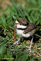 1K08-001z  Killdeer - young chick 1-2 days old eating worm - Charadrius vociferus