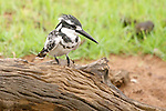 Pied kingfisher (Ceryle rudis), Chobe National Park, Botswana
