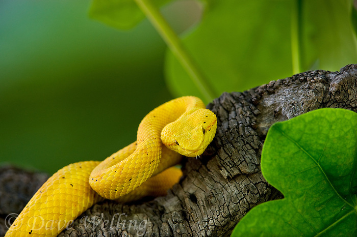 489180013 a captive golden yellow with black flecks eyelash viper bothriechis schlegelii sits coiled on a tree limb species is native to south and central america