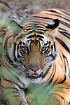 Bengal Tiger, Panthera tigris tigris, resting in forest, Bandhavgarh National Park.India....