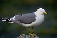 540060323 a wild mew gull larus canus in white-headed breeding plumage perches on a shoreline rock along the coast of southwest alaska