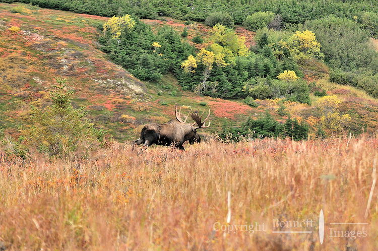 A bull moose takes up the chase during the fall rut in Chugach State Park.