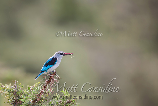 Kingfisher with a freshly caught grasshopper in his beak perhed on top of a bush in the Masai Mara Reserve, Kenya, Africa (photo by Wildlife Photographer Matt Considine)