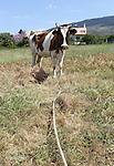 Foto: VidiPhoto<br /> <br /> KOS &ndash; Koeien lopen op het vakantie-eiland Kos en in grote delen van Griekenland gewoon aan de leiband. Letterlijk. Ze staan vast aan een paal met een stuk touw en begrazen alleen het deel van het weiland dat de langte van het touw toe laat. Zodra het stuk is afgegraasd, wordt de koe verplaatst. Een afrastering kennen de meeste Griekse boeren niet. Reden is dat er maar weinig melkveehouders zijn en de bedrijven vaak bestaan uit een handjevol koeien met wat ander vee. Bovendien kunnen zo kleine stukken grasland afgegraasd worden, ook midden in de stad zoals hier. De bekende, dikke romige, Griekse yoghurt: yiao&uacute;rti, wordt gemaakt van melk van de bruine koe. Door de crisis krijgen de koeien ook vrijwel geen krachtvoer meer en doen ze dus noodgedwongen aan de lijn.