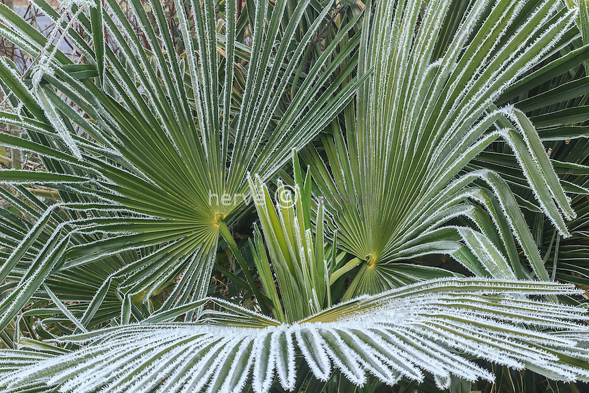 givre sur feuilles de palmier de Chine, Trachycarpus fortunei // frost on leaves of Chusan palm, Trachycarpus fortunei