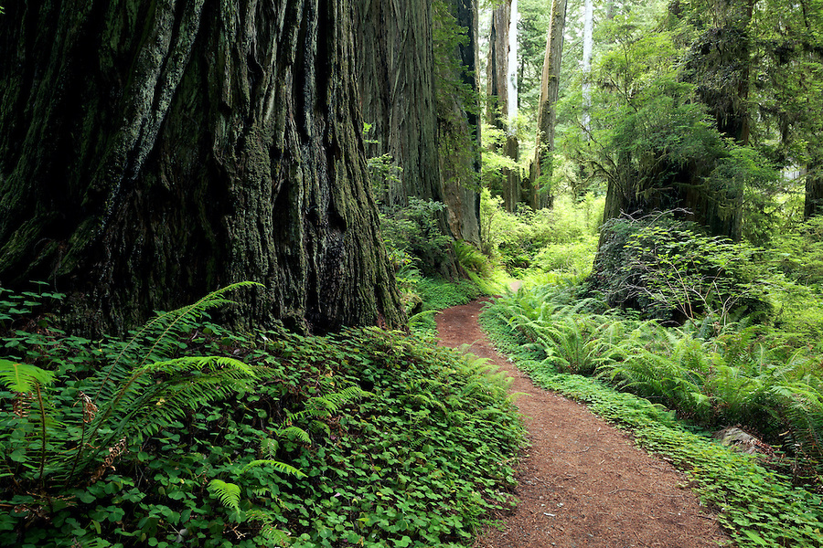 Trail through redwood forest, Prairie Creek Redwoods State Park, Humboldt County, California, USA