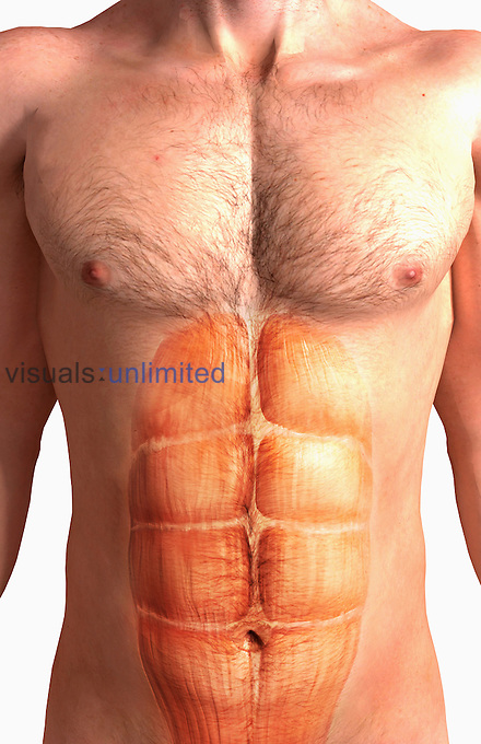 An anterior view of the rectus abdominis muscle. Royalty Free