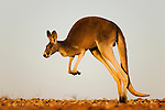 Australia,  NSW, Sturt National Park; red kangaroo male (Macropus rufus) hopping; the red kangaroo population increased dramatically after the recent rains in the previous 3 years following 8 years of drought