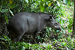 Brazilian Tapir, Tapirus terrestris, in rainforest, Manu, Peru, jungle, Amazonia, vunerable. .South America....