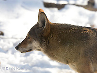 0221-1008  Critically Endangered Red Wolf in Snow, Canis rufus (syn. Canis niger)  © David Kuhn/Dwight Kuhn Photography.