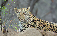 Leopard (Panthera pardus) at rest on a termite mound