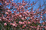 15197-CB Japanese Flowering Apricot, Prunus mume `Peggy Clarke', flowering branches in March at US National Arboretum, Washington DC USA