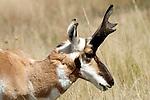 A pronghorn buck feeding on grass.