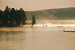 Two elk graze on the bank of the Yellowstone River, early morning fog lifting from the water behind them in Yellowstone National Park, Wyoming.