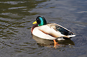 Male Mallard duck swimming on lake. Mallard ducks are one of the most commonly-known duck species