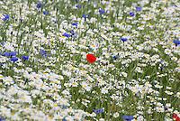 Wild flower mix, Lincolnshire.