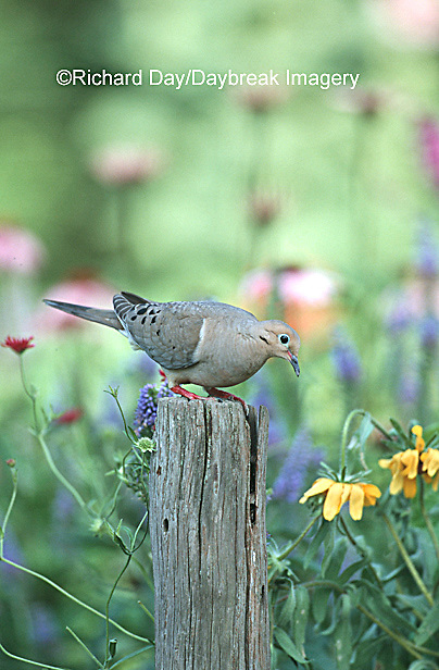 01081-007.13 Mourning Dove (Zenaida macroura) in flower garden Marion Co.   IL