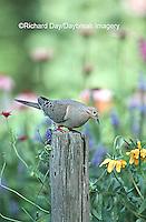 01081-007.13 Mourning Dove (Zenaida macroura) in flower garden Marion Co.   IL