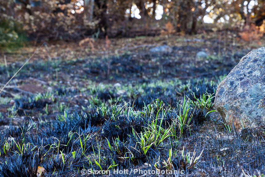 Grass resprouting, California native meadow landscape, recovery after 2017 Sonoma  fires, Pepperwood Preserve