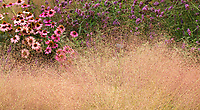 Muhlenbergia reverchonii, Ruby muhly grass flowering with Coneflowers and Verbena in Sunset garden, Cornerstone Sonoma