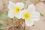 Anza-Borrego Desert State Park, Borrego Springs, California; a pair of white and yellow Dune Evening Primrose flowers on the desert floor
