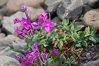 Arktisches Weidenröschen, Breitblättriges Weidenröschen, Chamaenerion latifolium, Epilobium latifolium, Chamerion latifolium, dwarf fireweed, river beauty willowherb, arctic riverbeauty