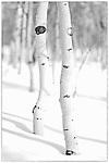 February 17, 2013:  Aspen grove near Crested Butte, CO.