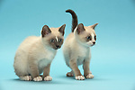 Snowshoe Kittens - 9 weeks old