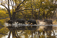 Herd of Elephants running through water at the tranquil Paradise Pools in Botswana's Okavango Delta.