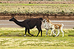 Llama (Lama glama) mother and crias, Ciudad de Piedra, Andes, western Bolivia